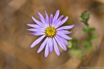 HSNP Music Mt Sunset Trail Aster