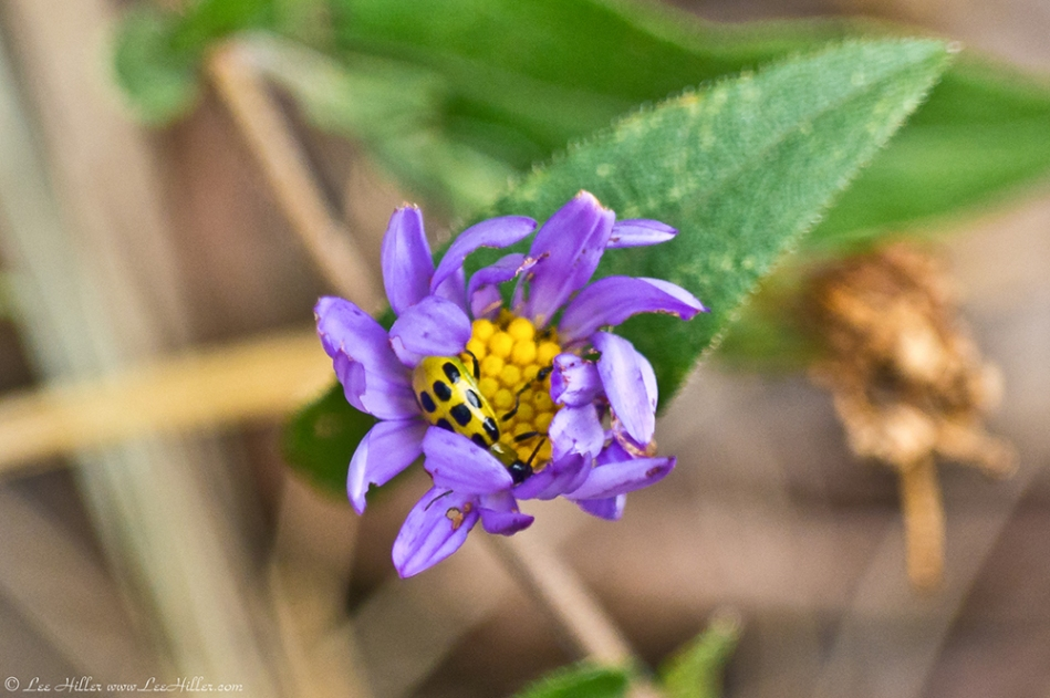 HSNP Music Mt Sunset Trail Cucumber Beetle in Aster