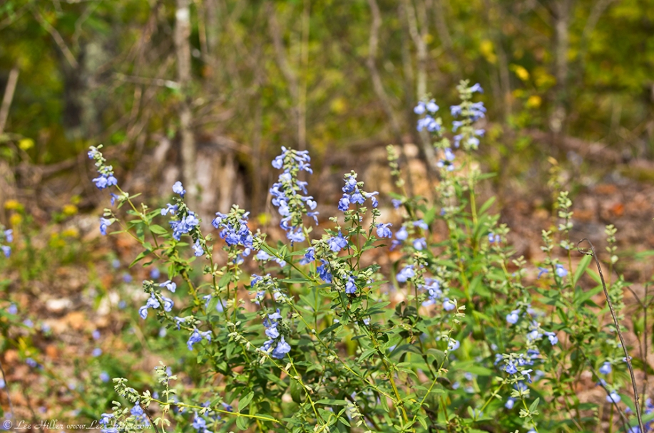 HSNP Music Mt Sunset Trail Blue Sage