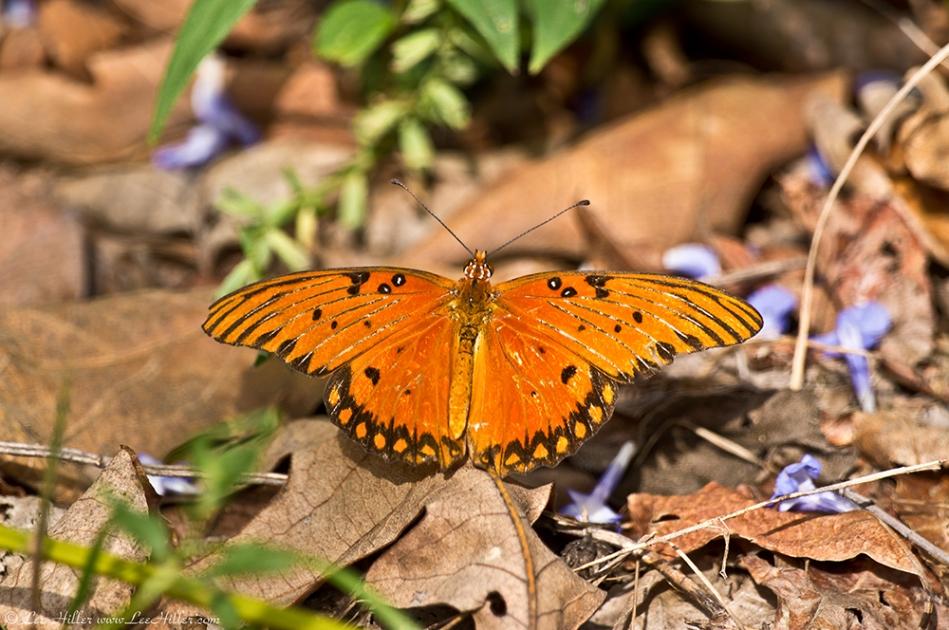 HSNP Music Mt Sunset Trail Gulf Fritillary Butterfly