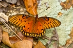 HSNP Music Mt Sunset Trail Gulf Fritillary Butterfly