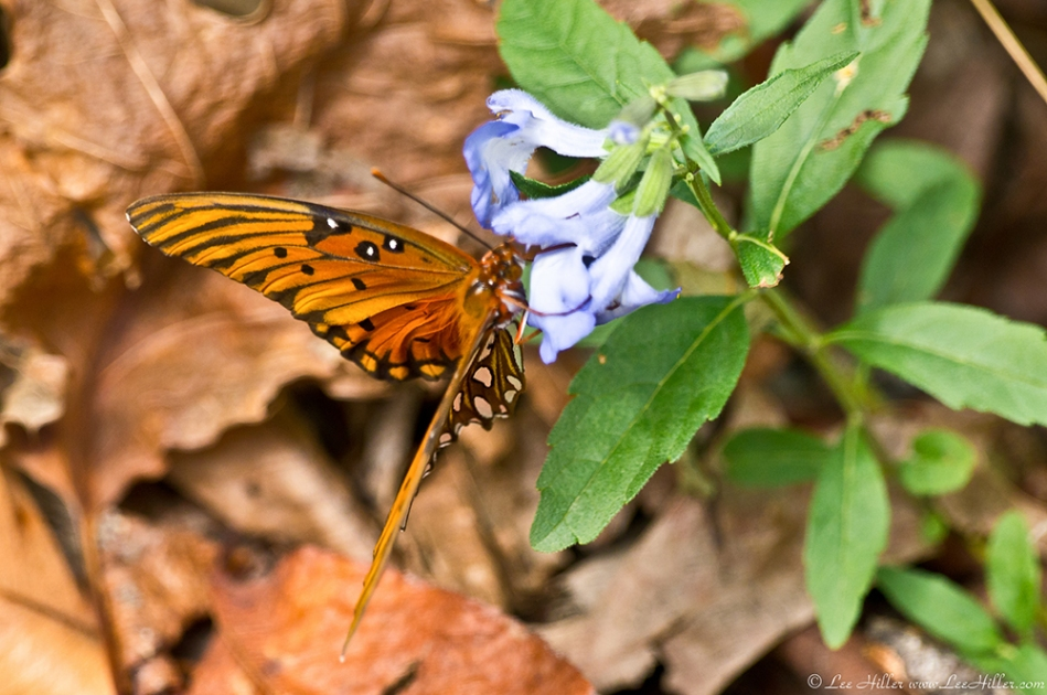 HSNP Music Mt Sunset Trail Gulf Fritillary Butterfly Blue Sage