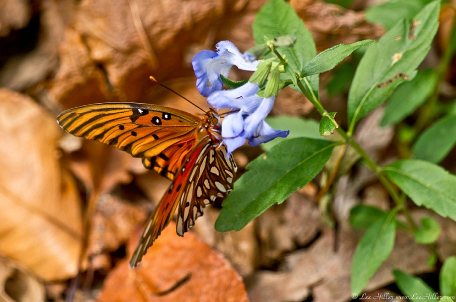 HSNP Music Mt Sunset Trail Gulf Fritillary Butterfly Blue Sage