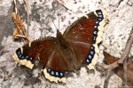 HSNP Music Mt Sunset Trail Mourning Cloak Butterfly