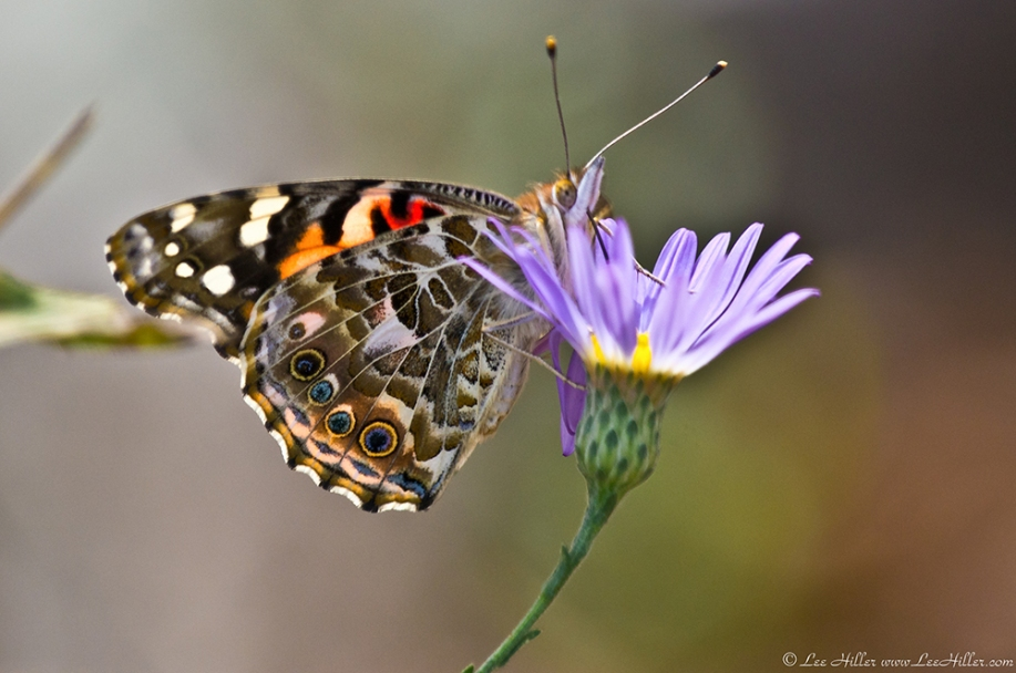 HSNP Music Mt Sunset Trail Painted Lady Butterfly On Aster