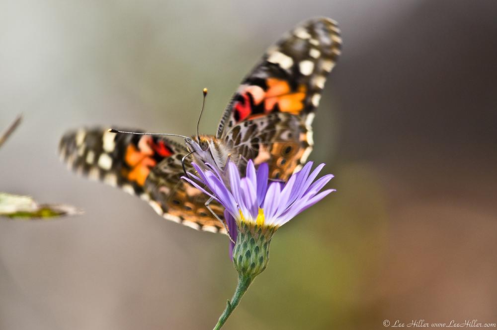 Autumn Beauty On Music Mountain Butterflies And