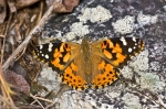 HSNP Music Mt Sunset Trail Painted Lady Butterfly