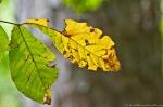 HSNP West Mt Oak Trail Changing Leaves