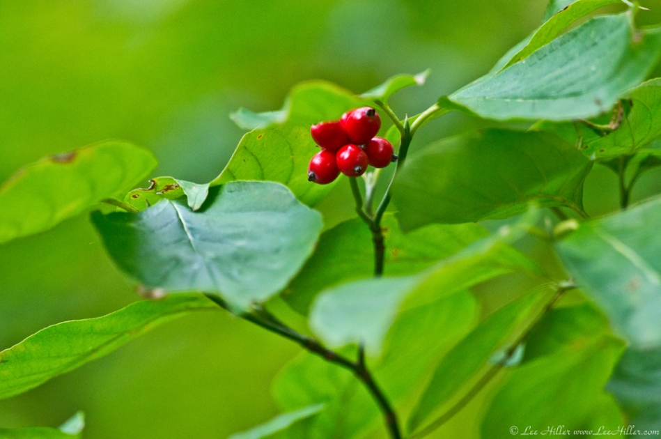 HSNP West Mt Oak Trail Red Autumn Berries