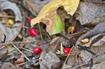 HSNP West Mt Oak Trail Red Autumn Berries