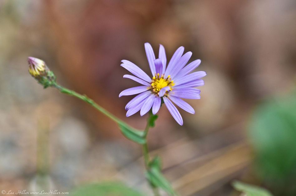 HSNP West Mt Trail Aster