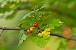 HSNP West Mt Trail Autumn Berries