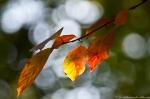 HSNP West Mt Trail Autumn Leaves