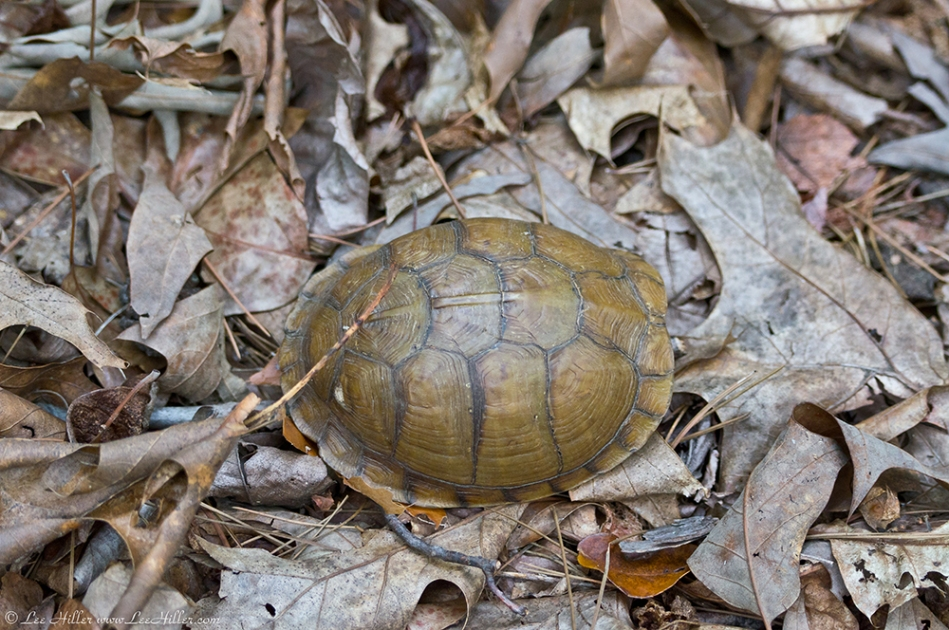 HSNP West Mt Trail Box Turtle