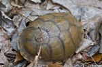 HSNP West Mt Trail Box Turtle