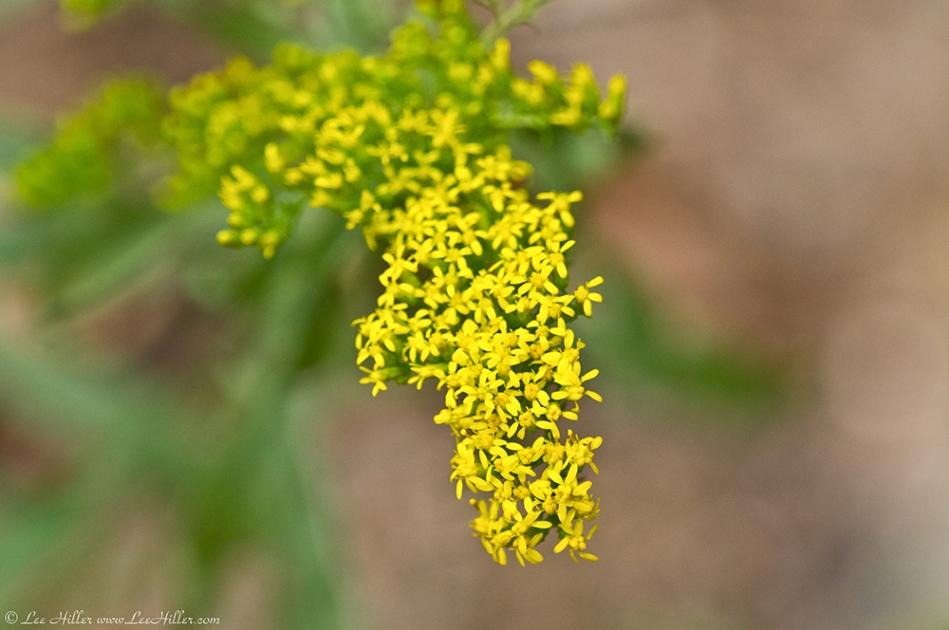HSNP West Mt Trail Goldenrod