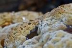 HSNP West Mt Trail LARGE Disc Fungi