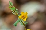 HSNP West Mt Trail Partridge Pea