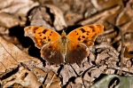 HSNP West Mt Trail Question Mark Butterfly
