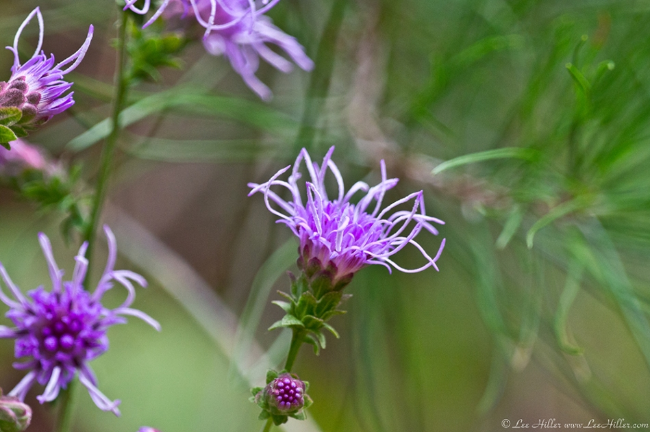 HSNP West Mt Trail Southern Blazing Star