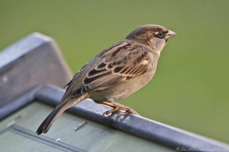 HSNP Bath House Row Male House Sparrow