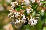 HSNP Promenade Carpenter Bee