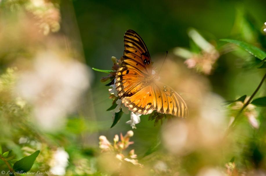 HSNP Promenade Gulf Fritillary Butterfly in Bush