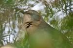 HSNP Promenade Mockingbird in a Tree