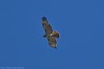 HSNP Promenade Red Tail Hawk