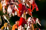 HSNP Red Autumn Leaves