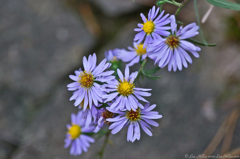 HSNP Dead Chief Trail Aster