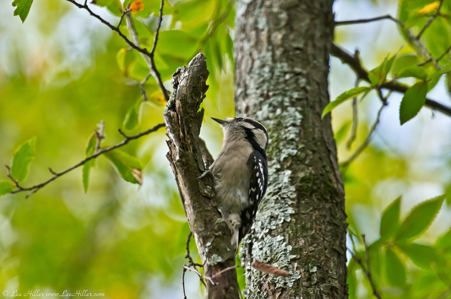 HSNP Dead Chief Trail Female Downy Woodpecker