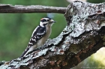 HSNP Dead Chief Trail Male Downy Woodpecker