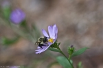 HSNP Hot Springs MT Trail Bee On Aster
