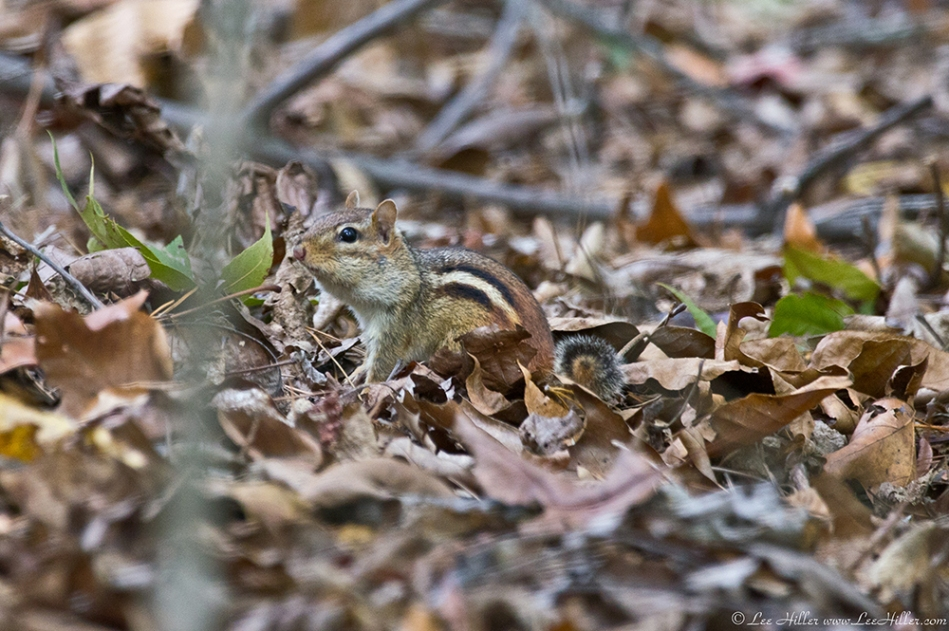 HSNP Hot Springs MT Trail Chipmunk
