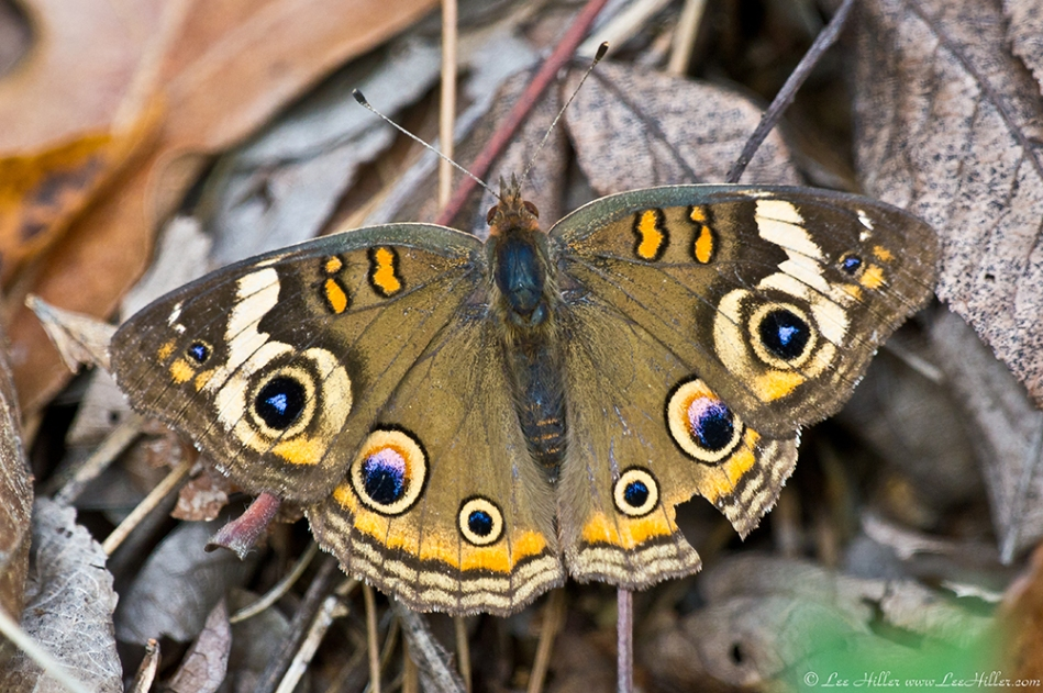HSNP Hot Springs MT Trail Common Buckeye Butterfly