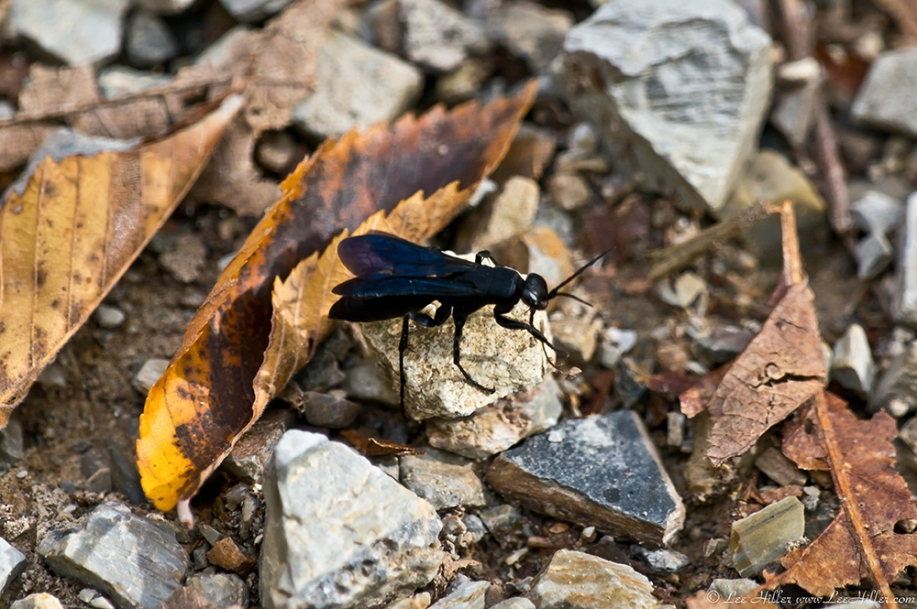 HSNP Hot Springs MT Trail Spider Wasp