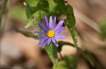 HSNP North Mountain Aster