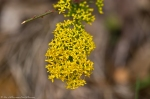 HSNP North Mountain Goldenrod