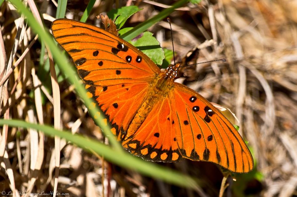 HSNP North Mountain Gulf Fritillary Butterfly