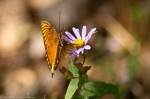 HSNP North Mountain Gulf Fritillary Butterfly On Aster