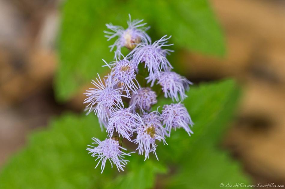 HSNP North Mountain Mist Flower