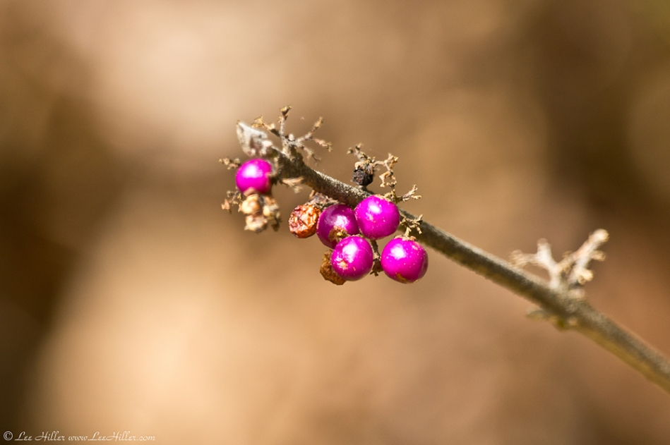 HSNP North Mountain Pink Berries