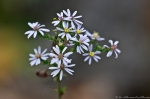 HSNP Tufa Terrace Trail White Heath Aster