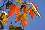Hot Springs Arkansas Colorful Autumn Maple Leaves
