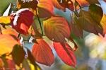 Hot Springs Arkansas Colorful Autumn Maple Leaves