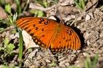 HSNP Promenade Gulf Fritillary Butterfly