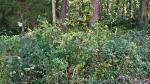 HSNP Promenade Phytolacca Americana