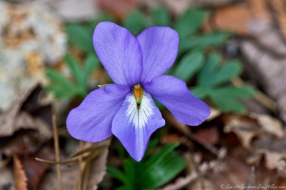 HSNP West Mt Canyon Trail Autumn Birds-Foot Violet
