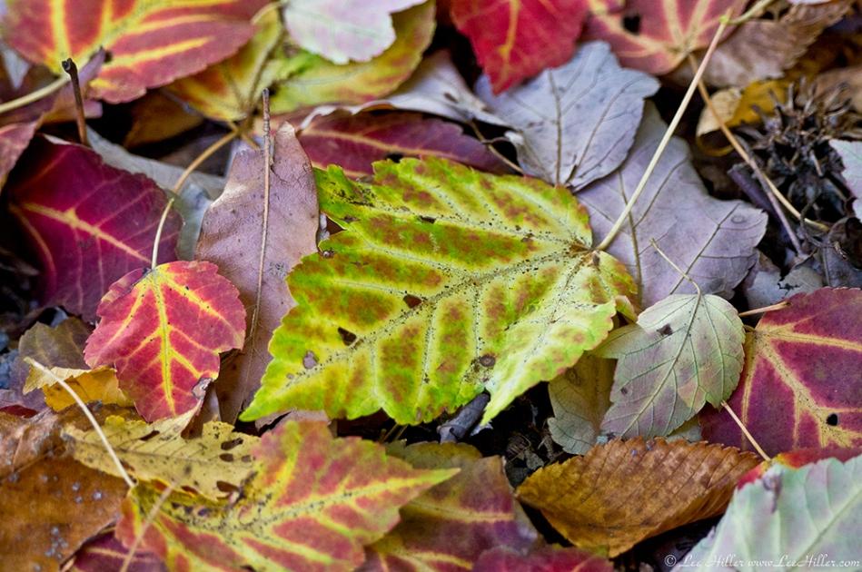 HSNP West Mt Canyon Trail Autumn Leaves